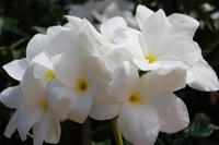 Orleanderb