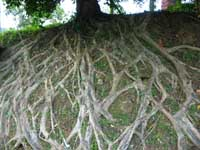 Roots_small